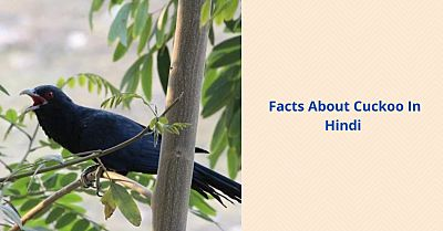 Facts about Cuckoo in Hindi