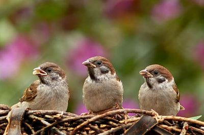 Facts about sparrow in Hindi