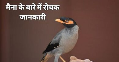 Facts about myna Bird in Hindi